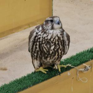 Falcon in souq waqif